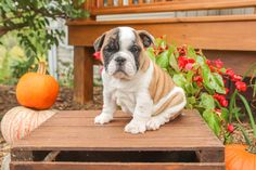 🐾#EnglishBulldogs are known for their #docile, #outgoing, and #willful #personality. They are a calm, people-oriented breed that's loyal and #intelligent.🐾 • #Charming #PinterestPuppies #PuppiesOfPinterest #Puppy #Puppies #Pups #Pup #Funloving #Sweet #PuppyLove #Cute #Cuddly #Adorable #ForTheLoveOfADog #MansBestFriend #Animals #Dog #Pet #Pets #ChildrenFriendly #PuppyandChildren #ChildandPuppy #LancasterPuppies www.LancasterPuppies.com