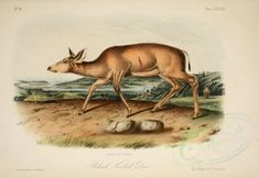 hoofed-00209 - Black-Tailed Deer [2846x1957] -  botanical engravings books Victorian plants natural masterpiece paintings beautiful floral flora 17th nice Artscult commercial pack blooming botany supplies 300 dpi transfer flowers collage 18th Paper domain pages old Edwardian flower 1700s illustration instant decoration use craft pre-1923 collection printable free fabric download public naturalist vintage royalty scrapbooking ornaments 1900s lithographs picture high digital ArtsCult nature… Flower Collage, Botany, Orchids, Deer, Moose Art, Royalty, Illustration, Artist, Nature
