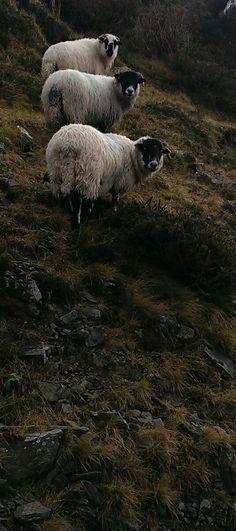 Sheep on the side of the road Penguins, Sheep, Ireland, Animals, Animais, Animales, Animaux, Irish, Animal