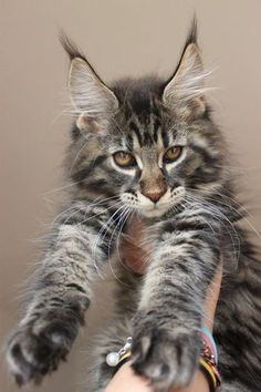 Maine Coon - this is what my GrandKitty will look like. http://www.mainecoonguide.com/male-vs-female-maine-coons/