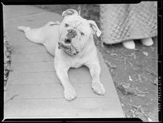 File name: 08_06_018896 Title: Dog Creator/Contributor: Jones, Leslie, 1886-1967 (photographer) Date created: 1934 - 1956 (approximate) Physical description: 1 negative : film, black & white ; 3 1/8 x 4 1/4 in. Genre: Film negatives Subject: Dogs Notes: Title from information provided by Leslie Jones or the Boston Public Library on the negative or negative sleeve.; Date supplied by cataloger. Collection: Leslie Jones Collection Location: Boston Public Library, Print Department Rights…