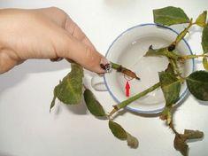 Trei metode simple de înrădăcinare a trandafirilor din buchetul primit cadou! - Pentru Ea Beautiful Roses, Aloe Vera, Plastic Cutting Board, Bouquet, Garden Ideas, Alphabet, Medicine, Health, Sports