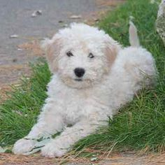 Fundy Bay Spanish Water Dog #swd #puppy