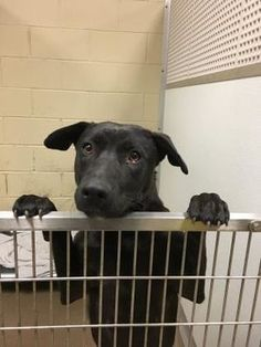 3/27/18 Anderson, SC - Shepherd (Unknown Type). Meet 38151751 a Dog for Adoption.