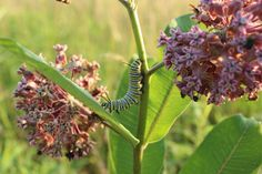 milkweed can be a good source of food if needed.