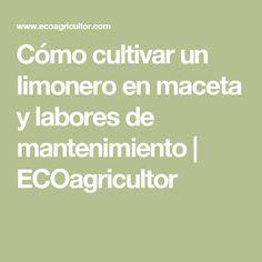 Cómo cultivar un limonero en maceta y labores de mantenimiento   ECOagricultor