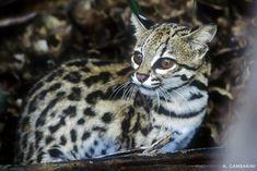 Pró-Carnívoros - Gato-do-mato-pequeno (Leopardus tidrinus) http://www.iucnredlist.org