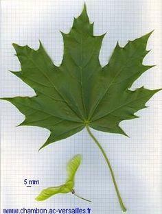 = érable plane ou érable de Norvège.  Grandes feuilles (16-18 cm de large) palmées à 5-7 lobes; pointes acérées, sinus arrondis très ouverts; quelques dents grossières. autre caractéristique, un épais latex s'écoule quand on coupe une feuille