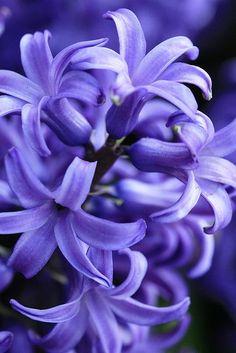 "fioritura: ""Purple Hyacinth by Types Of Flowers, My Flower, Pretty Flowers, Purple Flowers, Spring Flowers, Flower Art, Beautiful Flowers Garden, Exotic Flowers, Hyacinth Flowers"