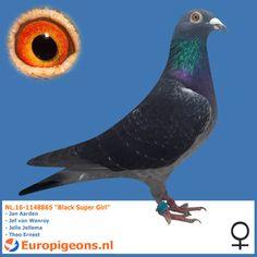 """NL.16-1148865 """"Black Super Girl"""" - Europigeons.nl"""