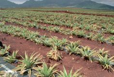 """Hawaii. Dole Pineapple Plantation: Originally operated as a fruit stand beginning in 1950, Dole Plantation opened to the public as Hawaii's """"Pineapple Experience"""" in 1989."""