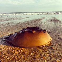Horseshoe crab found on Frisco Beach - Cape Hatteras NC Outer Banks