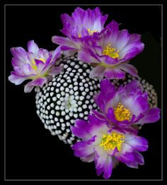 Cactus flowers (Mammillaria luethii), photo by Giangiorgio Crisponi
