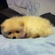 Mini pomeranian puppy