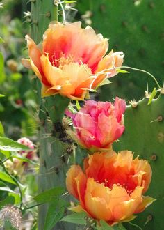 South Texas cactus bloom by PamBateman on DeviantArt Desert Flowers, All Flowers, Amazing Flowers, Beautiful Flowers, Cacti And Succulents, Planting Succulents, Cactus Plants, Planting Flowers, Bloom