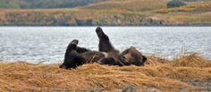 Some Kodiak photographers have had the opportunity to captivate the Kodiak bears playful nature.