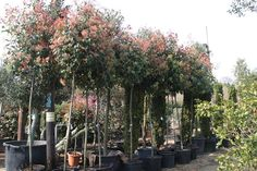 Image result for photinia fraseri red robin tree