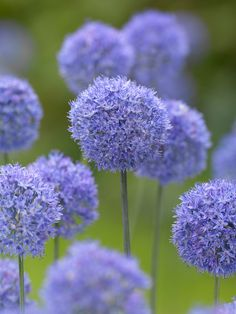 100 seeds/pack 3 Variety Color Allium Giganteum Beautiful Rate Rare Flower For Kid Garden Decoration Bonsai Flower Seeds Allium Flowers, Bulb Flowers, Fall Plants, Garden Plants, Planting Bulbs, Planting Flowers, Rare Flowers, Beautiful Flowers, Spring Bulbs