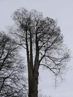 Cultureel Brabant CuBra Bomen Dommelen, de moerascipres achter de Dommelsche watermolen