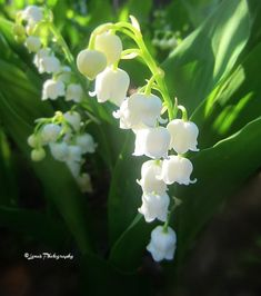 Hello my Dearest Friends, I am sure many of you can appreciate seeing this lovely, white like snow flower, but far… by lenasveganliving Flower Fairies, Flower Art, Snow Flower, Elegant Flowers, Beautiful Flowers, Lily Of The Valley Flowers, Flower Sleeve, Cool Plants, Trees To Plant