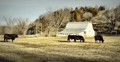 """Morning Graze"" -- Black Angus cattle enjoying a breakfast graze on a January morning.  (Hartsburg, Missouri)"