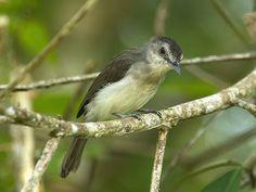 Sooty-capped Babbler - peninsular Thailand, Malaysia, Brunei, and Sumatra and Kalimantan in Indonesia | by mahi mahi 163