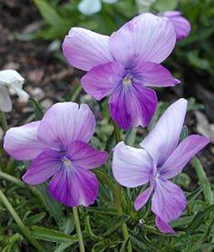 Berückende Schönheit: Viola cornuta 'Dolphin'