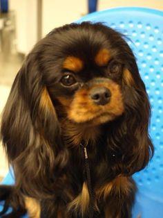 Georgina Of Woodville, Black and Tan Cavalier King Charles Spaniel Cavalier King Charles Spaniel, King Charles Puppy, Cute Puppies, Cute Dogs, Dogs And Puppies, Doggies, Baby Puppies, Terriers, Spaniel Puppies
