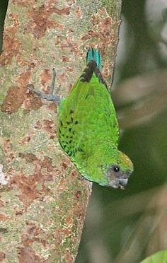 Yellow-capped Pygmy-parrot (Micropsitta keiensis) An individual descending on a trunk. Vertebrates, Exotic Birds, Bird Species, Bird Feathers, Parrot, Maluku Islands, Roman, Parakeets, Don't Blink