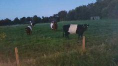 Lakenvelder koeien! !!!