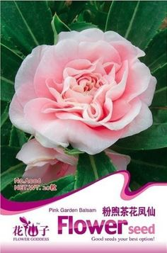 Cheap seeds gold, Buy Quality seed selling directly from China seeds petunia Suppliers: 3 Packs 60 of Pink Garden Balsam Seeds,Camellia Flower Seed Planting Bulbs, Planting Seeds, Planting Flowers, Rare Flowers, Pretty Flowers, Pink Flowers, Pink Garden, Lawn And Garden, Bonsai Seeds