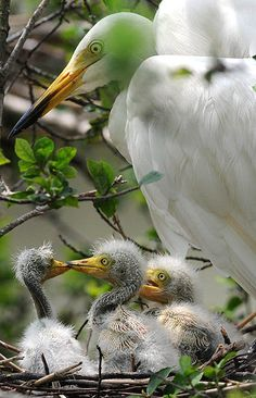 Egret chicks and a parent on their nest in a tree on the banks of the Brahmaputra River