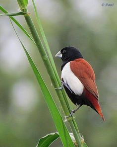 Tricoloured Munia  (Lonchura malacca) native to India,  Sri Lanka, and southern China. The species was also introduced to Jamaica, Puerto Rico, and Venezuela. This species like the chestnut munia has been known as the black-headed munia.