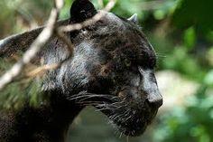 Resultado de imagen para yaguareté o jaguar