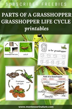 Join to download. Here is what's included: Parts of a Grasshopper poster; Parts of Grasshopper label cards with a blank poster; Blackline master; Grasshopper Life Cycle poster; Grasshopper Life Cycle 3 part cards; Blackline master. Blank Poster, Cycle 3, Learning Environments, Life Cycles, Aba, Montessori, Free Printables, Activities For Kids, Join