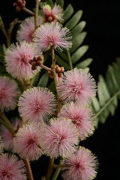 somelaceandpaperflowers:  Pink Sunshine by Nuytsia@Tas on Flickr.