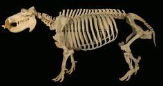 hippo skeleton - Google Search