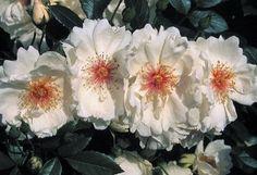 Jacqueline du Pré English Legend® Roses
