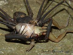 tailess whip scorpion