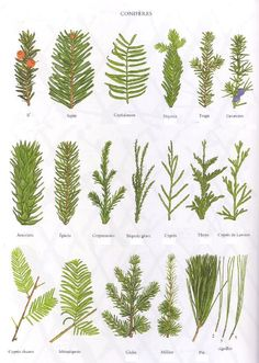 Planche 4 - Conifères Plus Botanical Drawings, Botanical Prints, Trees And Shrubs, Trees To Plant, Tree Leaves, Plant Leaves, Leaf Identification, Magic Garden, Nature Journal