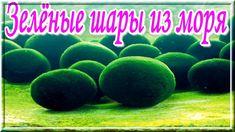 Загадки Земли. Зелёные шары из моря.Странные зелёные шары  из моря появились  на побережье США. Эти шары были темно-зеленого цвета, размером с мяч для тенниса или для гольфа. Объяснить появление шаров с научной точки зрения так никто и не смог. https://youtu.be/JlgimmU9CyE