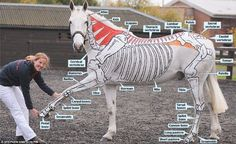 Horses for (anatomy) courses. Painted ponies are mane attraction for students Bringing lessons to life: Miss Higgins with her horse Kiitos who has his skeleton painted on his body Painted Horses, Horse Information, Horse Anatomy, Body Anatomy, Anatomy Bones, Animal Anatomy, Muscle Anatomy, Horse Mane, Horse Facts