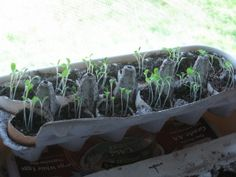 Cool way to not only start your seedlings, but recycling eggs shells/carton--VERY GREEN!