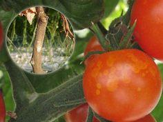 choroby pomidorów i ich zwalczanie