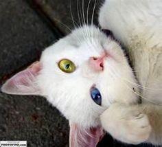 Heterochromia kitty