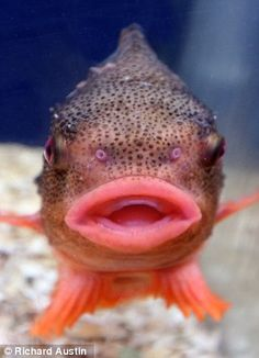 Jumpin' Jack Splash: The pouting lumpsucker fish that looks like Mick Jagger | Mail Online