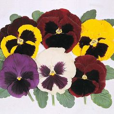 Pansy 'Majestic Giants Mixed' F1 Hybrid - Perennial & Biennial Seeds - Thompson & Morgan