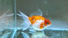Keeping your Goldfish Happy. Some cool tips about how to keep them happy and active.  #Fish  #Goldfish  #AquariumFish  #FishTank