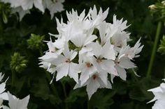 white pelargonium -