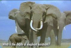 Elephants, the largest land animals on the planet, are among the most exuberantly expressive of creatures. Joy, anger, grief, compassion, love; the finest emotions reside within these hulking masses. Through years of research, scientists have found that elephants are capable of complex thought and deep feeling. In fact, the emotional attachment elephants form toward family members may rival our own.